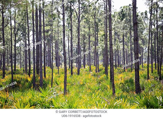 Pine Flatwoods Forest in the Fred C. Babcock-Cecil M. Webb Wildlife Management Area in southwest Florida USA
