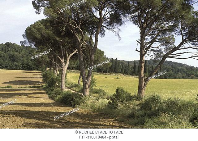 Pines alley, Italy, Pergine Valdarno, Toscana