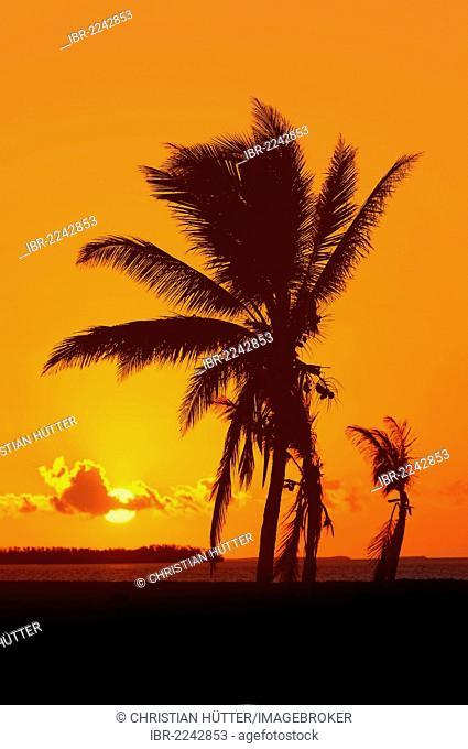 Coconut Palms (Cocos nucifera) at sunrise, Everglades National Park, Florida, USA