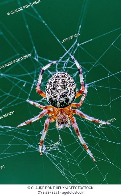 Orb Weaver spider, Araneus marmoreus, on its web, Quebec, Canada