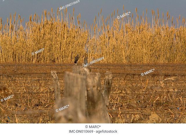 Argentina, Mendoza province, Maipu, fields