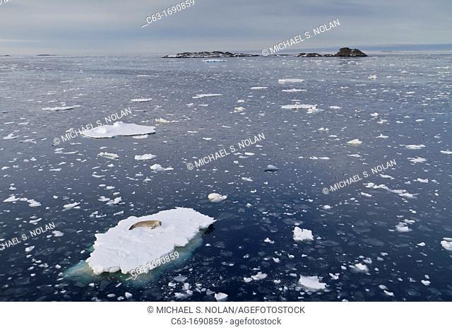 Adult crabeater seal Lobodon carcinophaga hauled out on ice floe near the Antarctic Peninsula