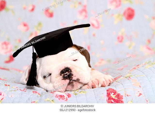 English Bulldog. Puppy (7 weeks old) wearing a motarboard on its head while sleeping on a blue blanket with rose flower print. Germany