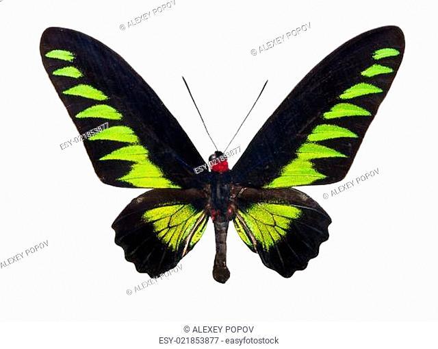 Butterfly Trogonoptera Brookiana