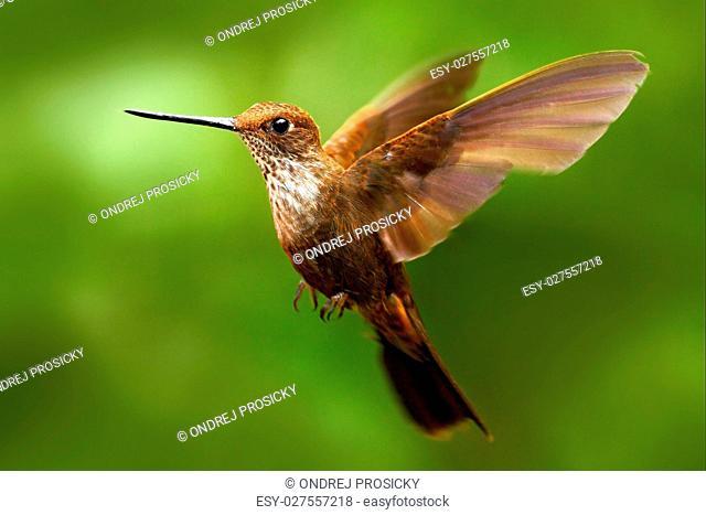 Beautiful bird in flight. Hummingbird Brown Inca, Coeligena wils