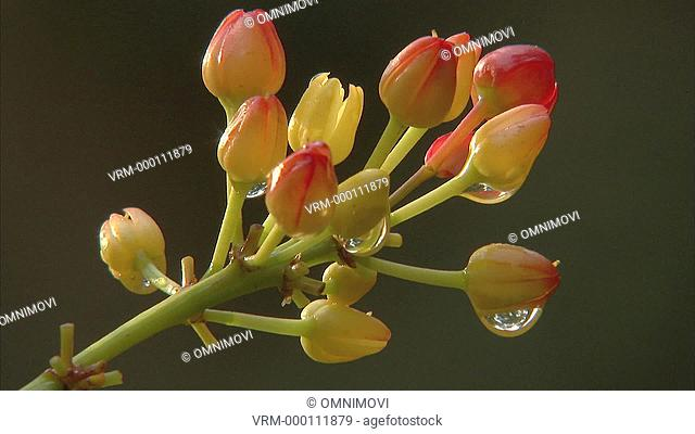 Water droplets hanging from red and yellow flower buds