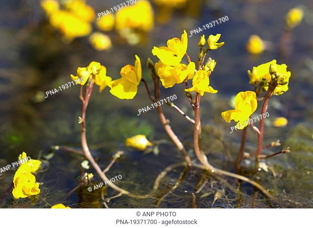 Greater Bladderwort Utricularia vulgaris - Groningen, Groningen, The Netherlands, Holland, Europe