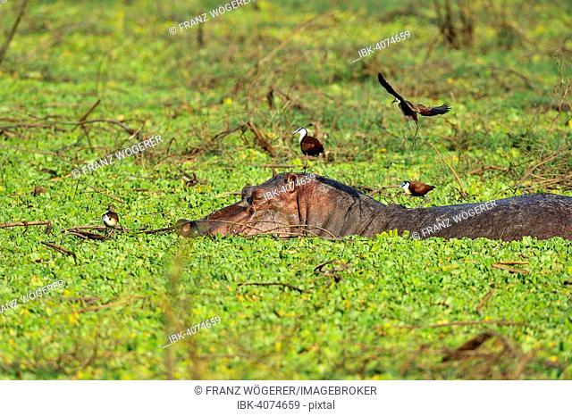 Hippopotamus (Hippopotamuspotamus amphibicus), in stagnant waters with aquatic plants, blue-fronted Jacana on the back, South Luangwa National Park, Zambia