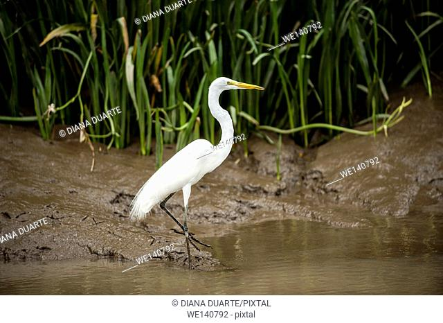 Great Egret (Ardea alba), The head plumes form a short crest. The aigrette plumes of the neck are long and filamentous. The back plumes curve upwards near the...