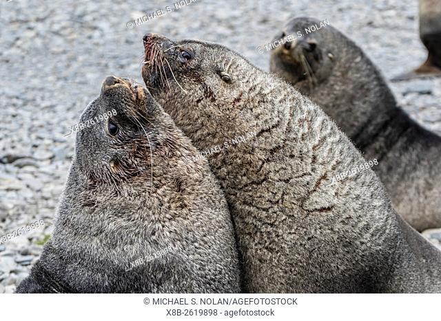 Adult bull Antarctic fur seals, Arctocephalus gazella, fighting in Stromness Harbor, South Georgia