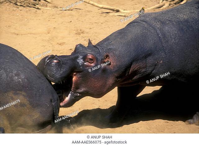 Hippopotamus biting (Hippopotamus amphibus) Maasai Mara NR, Kenya
