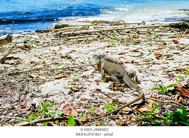 Costa Rica, Limon, Iguana walking on the beach of the Cahuita National Park