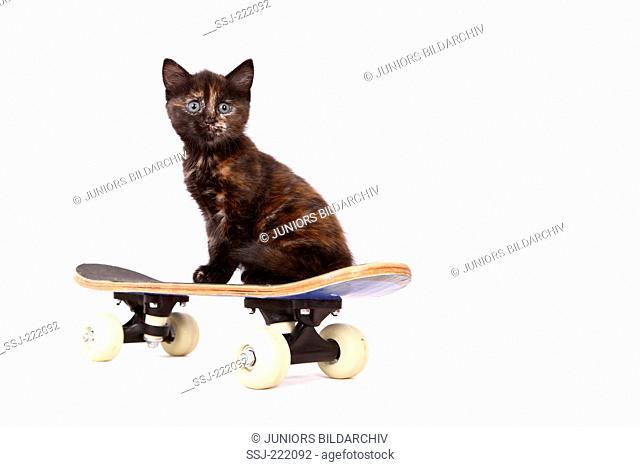 Europaeisch Kurzhaar. Kitten (6 weeks old) sitting on a skateboard. Studio picture against a white background