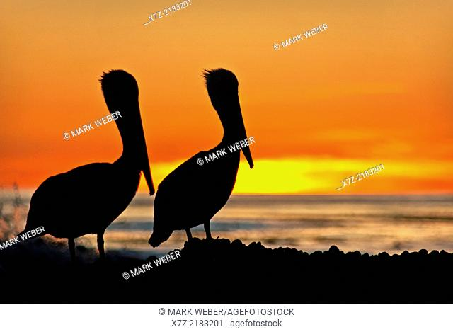 Santa Barbara, Pelicans at Coal Oil Point during sunset on the Pacific Ocean near the city of Goleta in southern California