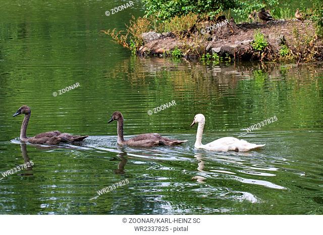 Young swans 4