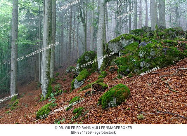 Misty forest, Bavarian Forest National Park, near Waldhäuser, Lower Bavaria, Bavaria, Germany