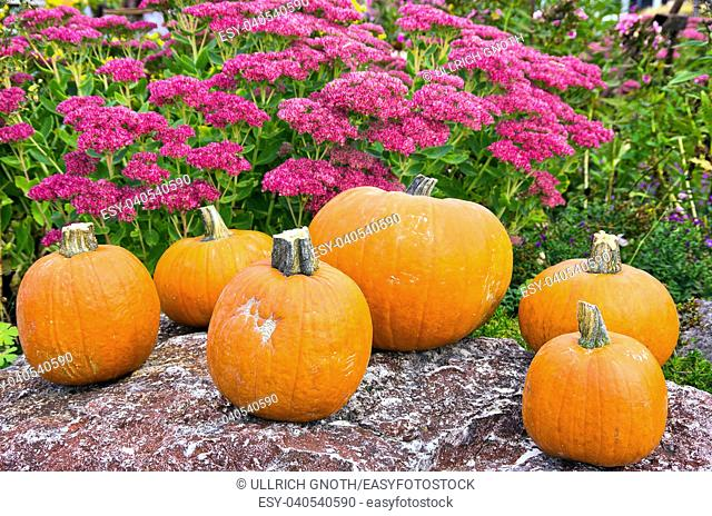 Pumpkins and examples of Hylotelephium telephium in the background