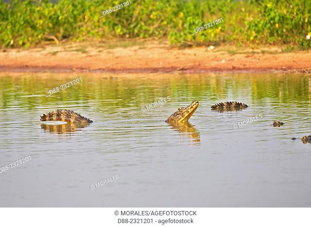 South America,Brazil,Mato Grosso,Pantanal area,Yacare caiman (Caiman yacare),marking his territory by making sounds and lifting water bubbles