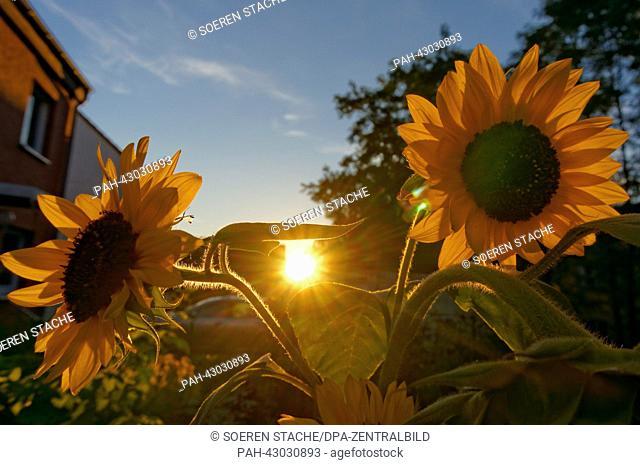 Die Sonne geht am 29.09.2013 in Oranienburg (Brandenburg) scheinbar zwischen den Köpfen von Sonnenblumen unter. Foto: Soeren Stache | usage worldwide