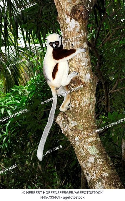 Coquerel's Sifaka (Propithecus coquereli), Madagascar