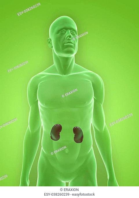 3d rendered illustration of a human body shape with kidneys