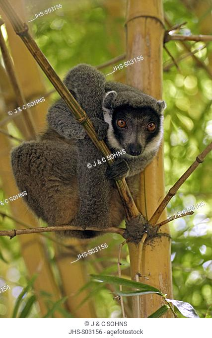 Mangoose Lemur, Eulemur mongoz, Madagascar, adult male on bamboo