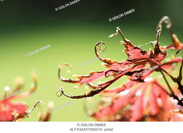 Brittle, curling Japanese maple leaves