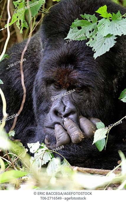 Head portrait of male silverback Mountain gorilla lying on forest ground (Gorilla beringei beringei) Virunga National Park, Democratic Republic of Congo, Africa