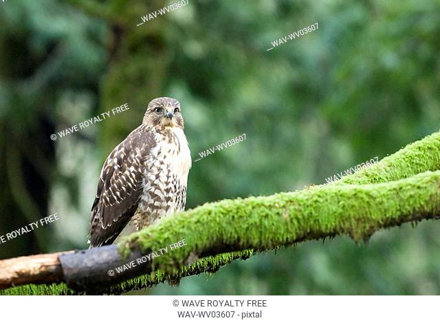 A Red-Tailed Hawk Buteo jamaicensis sits on a branch, Goldstream Provincial Park near Victoria, BC, Canada