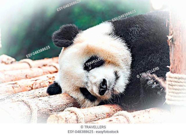 Image of Giant Panda sleeping in the park