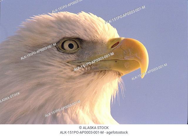 American Bald Eagle face Alaska portrait