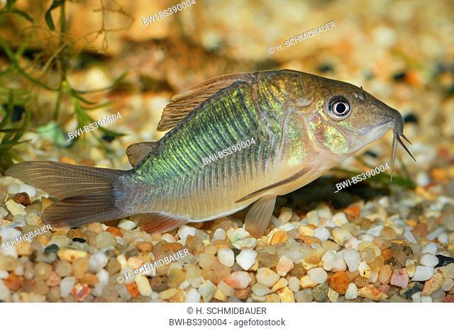 Aeneus catfish, Bronze Corydoras (Corydoras aeneus), swimming
