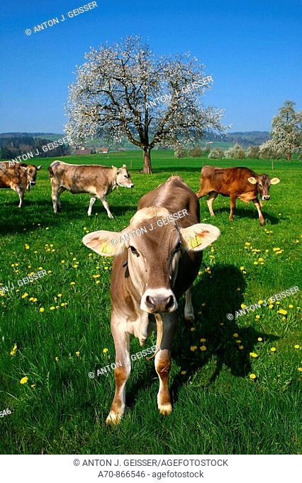 Cattle on a pasture with Giswil, in the back a flowering apple tree