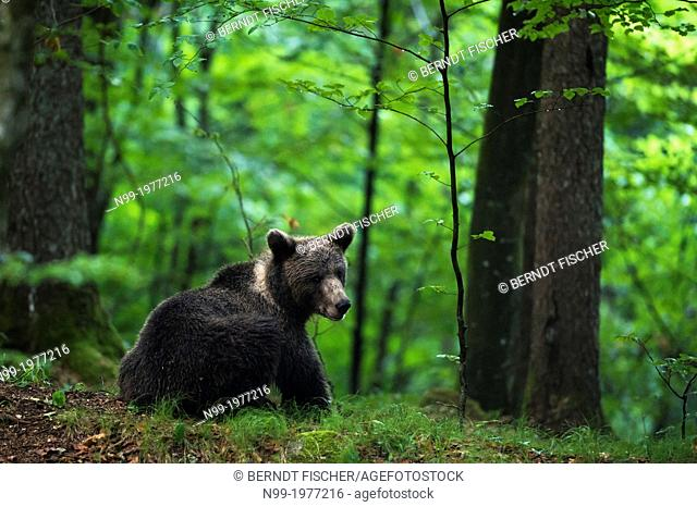 Brown bear (Ursos arctos), in deciduous forest, Kocevje, Dinaric Alps, Slovenia
