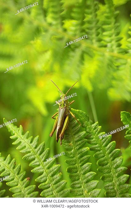 A Common Green Grasshopper (Omocestus viridulus) rests on a Fern Leaf