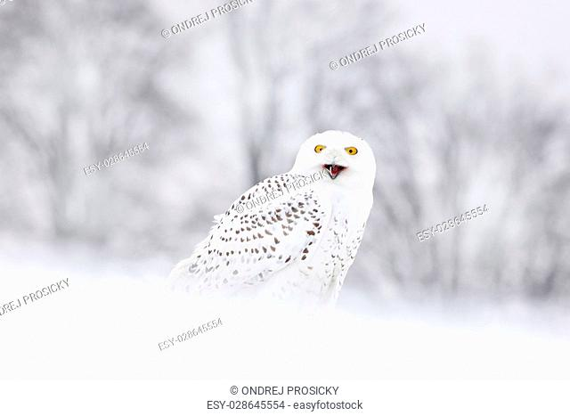 Bird snowy owl sitting on the snow, winter scene with snowflakes