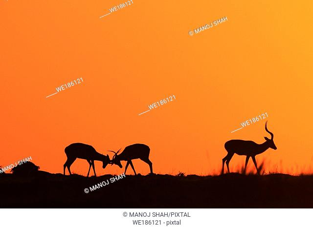 The early morning rising sun paints the sky scarlet. During the rutting season, males fight fiercely for possession of females