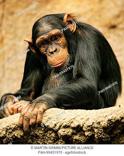 West African chimpanzee (Pan troglodytes verus) sitting thoughtfully in Pongoland Zoo Leipzig, Leipzig, Germany | usage worldwide