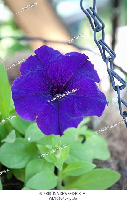 A single dark purple Petunia in a hanging planter