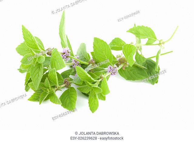 flower spearmint (Mentha pulegium) on white background
