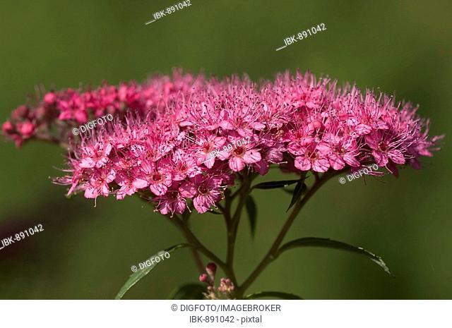 Violet blossom of the Japanese Spiraea (Spiraea japonica)