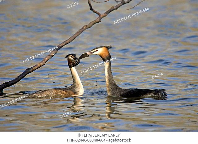 Great Crested Grebe Podiceps cristatus adult pair, using dead leaves in weed ceremony on sterile pond, England