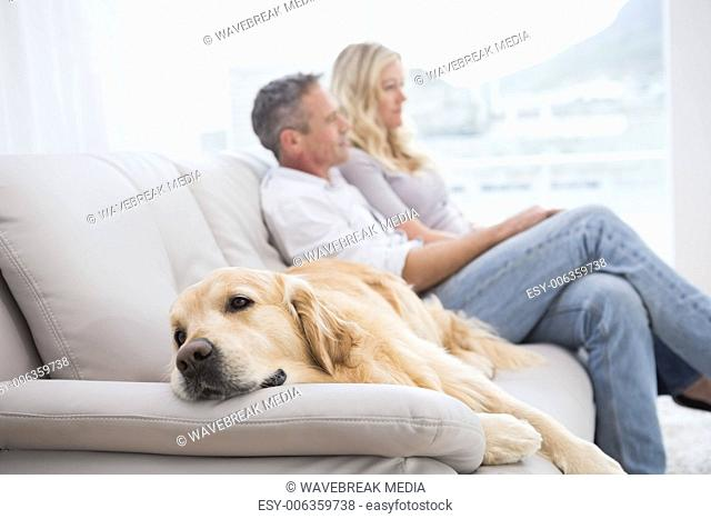 Lying Male Golden Retriever Stock Photos And Images Age Fotostock