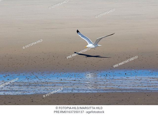 European herring gull, Larus argentatus, Former Ostanleger, Wangerooge, Friesland district, Lower Saxony, North Sea, Germany, June 2016 / Silbermöwe
