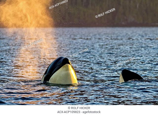 Resident killer whale spy hopping in Johnstone Strait, British Columbia, Canada