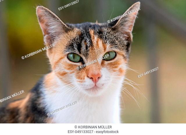 Portrait of a tricolor cat, white, orange, gray, green eyes