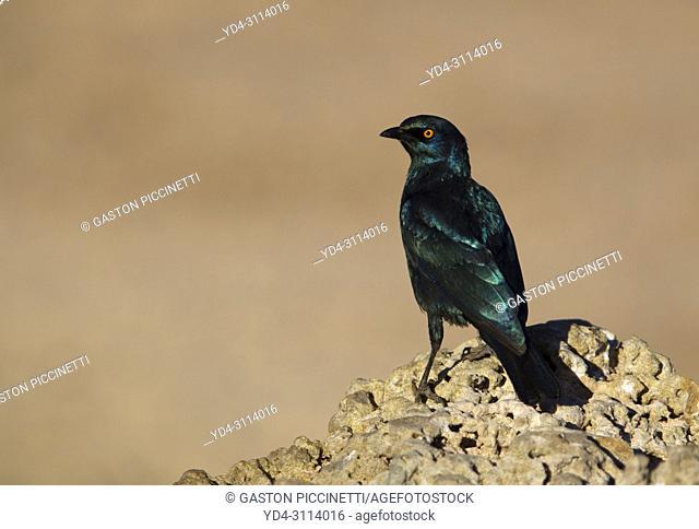 Cape Glossy Starling (Lamprotornis nitens). Kalahari Desert, Kgalagadi Transfrontier Park, South Africa.