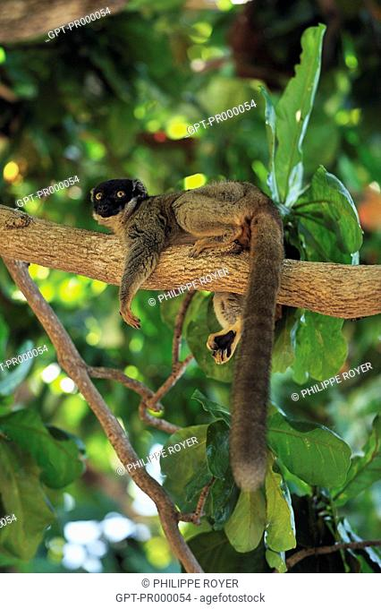 BLACK LEMUR EULEMUR MACACO, LEMUR LYING ON A BRANCH, NoSY TANIKELY ISLAND, REPUBLIC OF MADAGASCAR