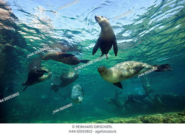 California Sea Lion, Zalophus californianus, La Paz, Baja California Sur, Mexico