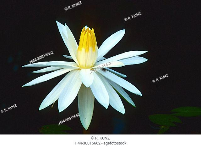 Tiger lotus, Nymphaeae lotus, Nymphaeaceae, Water lily, blossom, detail, blooming, flower, cluster, plant, Botanic Garden, Singapore